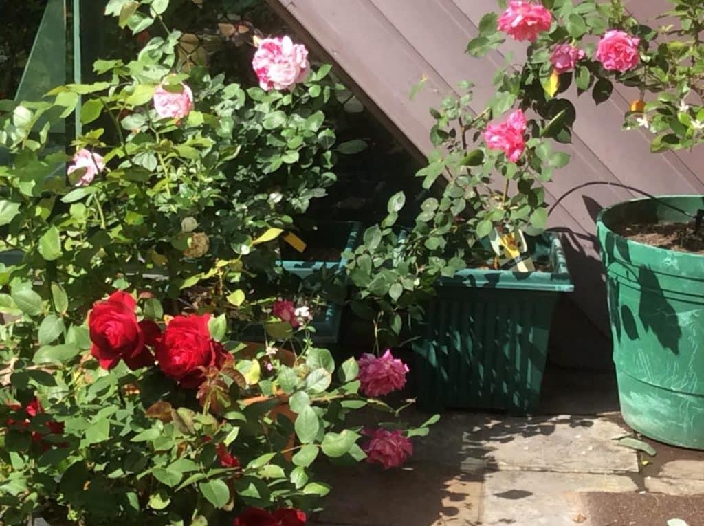 Natalie's Roses