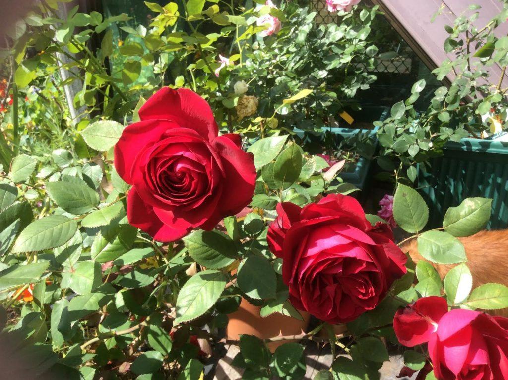 Natalies Roses 2